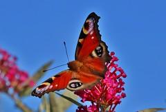 Tagpfauenauge (Aglais io) (Hugo von Schreck) Tags: tagpfauenauge aglaisio hugovonschreck butterfly schmetterling macro makro falter insect insekt fantasticnature canoneos5dsr tamron28300mmf3563divcpzda010