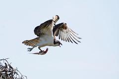 Osprey (JDA-Wildlife) Tags: wow birds birdsofprey raptors osprey nikon nikond7100 tamronsp150600mmf563divc jdawildlife johnny whatbirdbestofday