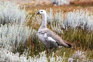 Patagonian Goose, male