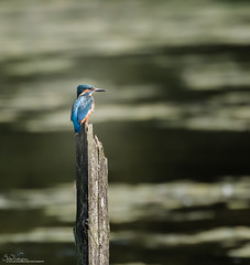 Kingfisher sitting in the afternoon sun. (Steve C Waddingham) Tags: stevenwaddinghamphotography bird british blue nature countryside wild wildlife water fish fishing