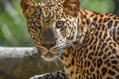 Beauty (stephanieswayne1) Tags: spots endangered portrait profile head face whiskers mouth nose pose posing looking eyes zoo columbus cat big animal wild young male cub leopard african africa