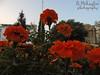 DSC04103 (roshko25) Tags: цветя cvetq flowers burgas терминал юг square beauty nature natural природа красота площад царица йоана фонтан fountain bulgaria българия красива красиво зеленина цветы fleurs jardin fontaine