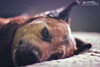 Relaxing Rocco (Hi-Fi Fotos) Tags: rocco rocky rock rocket pup dog pooch canine animal pet bff relax rest nap snooze pillow daydream happy nikon d7200 50mm 14 dx hififotos hallewell