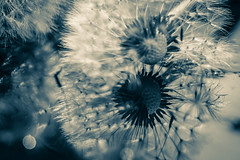 ..let our similarities shine through.. (dawn.tranter) Tags: dawntranter hmbt monochrome seeds dandelion seedhead sepia reflection water sunlight 7dwf