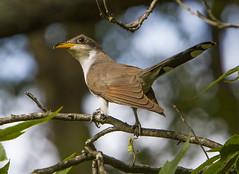 Yellow-billed Cuckoo (AllHarts) Tags: yellowbilledcuckoo spac hollyspringsms thesunshinegroup sunrays5 naturesspirit coth coth5 naturescarousel ngc npc