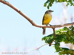 lemon-bellied flyrobin (Microeca flavigaster) - Kakadu