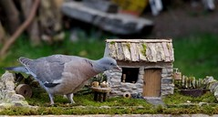 juv pigeon on stone wall model village cottage pigion.zilla (3) (Simon Dell Photography) Tags: pigeon garden old english country sheffield uk yorkshire stone wall giant pigeonzilla zilla monster model village micro bird table simon dell photography 2017 autumn image seasonal season massive large big wildlife