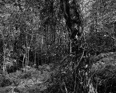 Tree and Ivy (Hyons Wood) (Jonathan Carr) Tags: tree ancient woodland landscape rural northeast 4x5 5x4 largeformat toyo45a black white bw monochrome ivy
