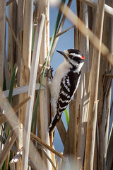 Downy Woodpecker (Picoides pubescens) (famasonjr) Tags: woodpecker nature wildlife hairy reeds canoneos7d wetland bog water cattails canonef28135mmf3556isusm cattail reed