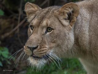 junge Löwin....