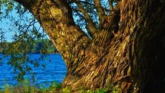 The Big Fella (Bob's Digital Eye) Tags: 2017 bobsdigitaleye canon canonefs55250mmf456isstm flicker flickr organictexture t3i tree willow wood tmt day