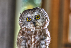 A Saw Whet Owl (macnetdaemon) Tags: sawwhet portrait eyes stare starring boket plummage tiny small canon 7d markii hdr