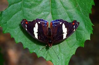 Catonephele Numilia femelle