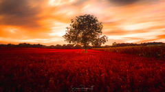 Fields of Madness (Simmie | Reagor - Simmulated.com) Tags: 2017 clouds connecticut connecticutphotographer farm field landscape landscapephotography larryaugurfarm millrd nature naturephotography newengland northbranford northford outdoors september sunset tree unitedstates ctvisit digital https500pxcomsreagor httpswwwinstagramcomsimmulated wwwsimmulatedcom us