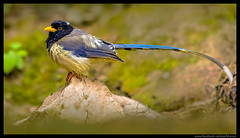 Beauty of The Nature (asifsherazi) Tags: yellowbilledbluemagpie islamabad asifsherazi margalahills pakistan
