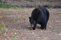 DSC_7359 Momma Black Bear sniffing for acorns (futzr.fotoz) Tags: fort simcoe state park yakima county washington north american black bear oak apple trees alert alarm acorns