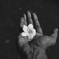 First steps into depth effect and I plucked it (paulpushparaj) Tags: bangalore india bw blackwhite flowers iphone7plus iphonephotography nightphotography