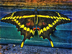 Lake Placid ~ New York ~ Giant Swallowtail Butterfly ~ iPhone 6s ~ Window Sill @ Starbucks (Onasill ~ Bill Badzo) Tags: iphone 6s iphoneography lake placid starbuck window sill outside onasill restaurant newyork state ffranklincounty butterfly colour yellow black coffee adirondack mountains vacation nrhp register exotic giant swallowtail striking beautiful downtown travel site attraction trekking boating adult visitors landscape hdr gardens caterpillar foliage great lakes holidays insect winter olympics 1980
