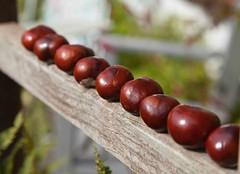Conker Time @ Brasted (Adam Swaine) Tags: conkers nature naturelovers naturesfinest england english canon macro seasons britain british uk autumn beautiful kent horsechestnuttree