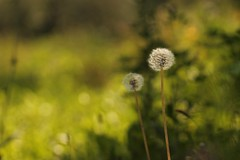 Come all'inizio! (SimonaPolp) Tags: flowers dandelions dandelion grass bokeh light sunlight september fall autumn domanisiparte green