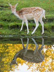 Deer reflection (✦ Erdinc Ulas Photography ✦) Tags: deer hert gras grass water nature animal netherlands dutch nederland natuur dier reflection lake green autumn tree boom