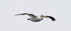 American White Pelican (Laura Erickson) Tags: americanwhitepelican birds pelecaniformes pelecanidae species duluth stlouisriverestuary places minnesota pelecanuserythrorhynchos