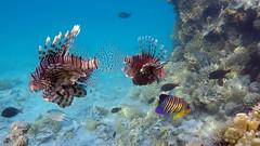 023. Lion fish (Pterois antennata) (__Maestro__) Tags: egypt sea underwater fish scuba freedivig diving blue water adventure nature animals