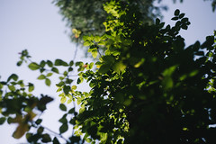 Bivins, TX (BurlapZack) Tags: pentaxk1 helios44m58mmf2 helios vscofilm pack01 manualfocus legacyglass thriftstorelens garagesalelens leaves leaf tree vine canopy flora plantlife nature bivinstx easttexas behindthepinecurtain bokeh dof swirly backlight afternoon woods forest trees sky home homestead summer summertime m42