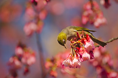 Wax-eye in the plum blossoms (Yani Dubin) Tags: fruittree tree lateralis newzealand christchurch blossoms whiteeye green white colour bokeh zosterops yellow 150600mmf563dgoshsm|c native nature waxeye animal endemic spring darktable d7000 plant ilamgardens dof pink newzealandnative colorful blue bird canterbury plum plumblossoms color silvereye sigma gimp