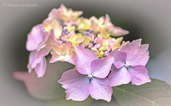 Hydrangea... (moraypix) Tags: red hydrangea hydrangeablossoms flowers feelgoodfactor pastelcolours pastelfloral nikond750 nikon10528lens moraypixphotography jimmacbeath