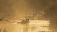 Misty Mendip Swan @ Sunrise TP (Doyleecart Photography) Tags: misty mendip somerset westcountry swans community sunrise water reflection doyleecart canon5dmkiv golden