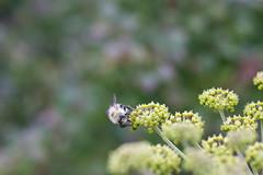 Bumble Bee on the MST 3 (joehoeper) Tags: avl westernnorthcarolina nationalforest appalachianmountains pisgahnationalforest brevard northcarolina 828 naturephotography blueridgemountains blueridgeparkway