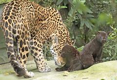 jaguar Rica with cubs born 28 6 2017 artis BB2A2861 (j.a.kok) Tags: jaguar artis rica cubs jaguarcubs blackjaguar zwartejaguar mammal zoogdier dier animal zuidamerika southamerica pantheraonca