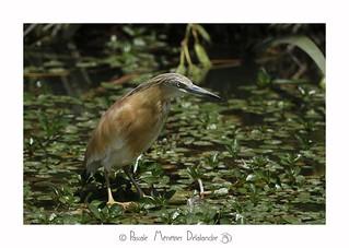 Crabier chevelu-  Ardeola ralloides - Squacco Heron