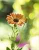 the summer morning (Krzysztof Kozłowski) Tags: colors hexanonar5017 garden nature africandaisy