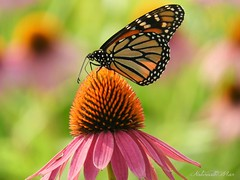 Monarch (NaturewithMar) Tags: monarch butterfly macro coneflower 7dwf wednesday insect garden park ngc npc