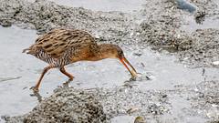 Ridgway's Rail (Bob Gunderson) Tags: alamedacounty arrowheadmarsh birds california eastbay northerncalifornia rails railsgallinulescoots ralluslongirostris ridgwaysrail