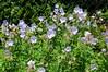 DSC_1372 Geranium, unser Garten, 7.6.2012 (andreas.marquardt73) Tags: garten unsergarten 2012 baden geranium