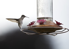 "Humming Bird in Flight 09 • <a style=""font-size:0.8em;"" href=""http://www.flickr.com/photos/30765416@N06/35825579244/"" target=""_blank"">View on Flickr</a>"