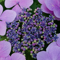 out of the box (louise peters (back and catching up)) Tags: buds knop knoppen box doosje purple paars blue blauw popup lacecap hydrangea hortensia macro makro plant garden tuin