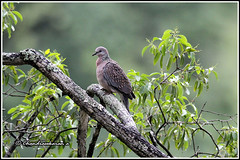 7090 - spotted dove (chandrasekaran a 44 lakhs views Thanks to all) Tags: spotteddove birds nature marayur kerala india canon60d tamronsp150600mmg2 sandalforest