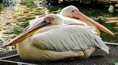 Watch my back. (Hans Veuger) Tags: nederland thenetherlands amsterdam artis naturaartismagistra pelicans pelikanen vogels birds zoo dierentuin nikon b700 coolpix nederlandvandaag unlimitedphotos twop