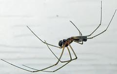 Filmy Dome Spider, Neriene radiata, Washington Crossing (Seth Ausubel) Tags: araneae linyphiidae