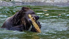 Game Time. (kud4ipad) Tags: 2017 ukraine zakarpattia animals bear