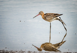 Black-tailed Godwit doing a stretch.