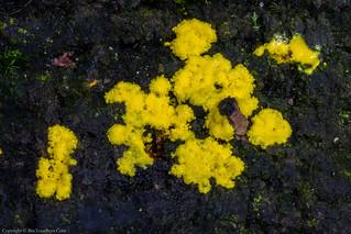 Physarum virescens