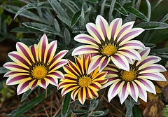 Gazania Family (Eleanor (No multiple invites please)) Tags: flowers gazanias busheyrosegarden bushey uk nikond7200 105mmmacrolens august2017