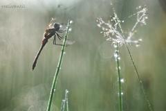 Dauwdiamanten/Dew Diamonds are not for ever (roelivtil) Tags: bokeh dew dewdrops dragonfly heidelibelle trioplanlens wednesdaybokeh diamonds outdoor