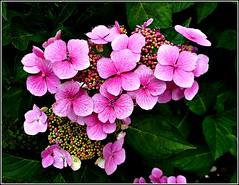 Hydrangea Plant .. (** Janets Photos **) Tags: uk plants flora flowers hydrangea nature
