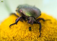 Gemeiner Rosenkäfer #SmileOnSaturday #BizarreBugs (Argentarius85) Tags: nikond5300 sigma105mmf28exdgoshsm smileonsaturday bizarrebugs gemeinerrosenkäfer cetoniaaurata käfer bug macro makro nahaufnahme depthoffield dof natur garten